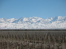 Snow capped Andes:Argentina/COW DO III